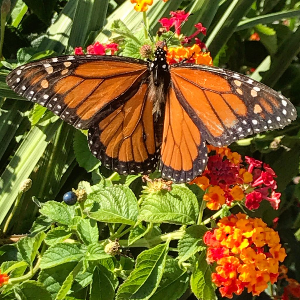 Monarch Butterfly in Cape May